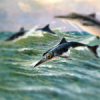 ichthyosaurus's picture
